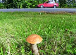 Сбор грибов удороги