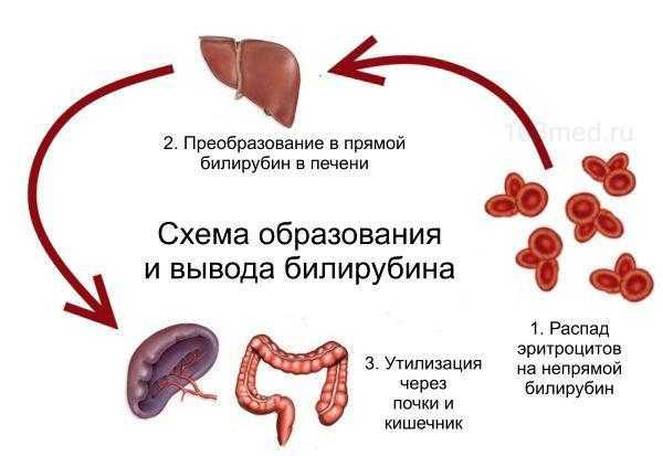 Как образуется и выводится билирубин