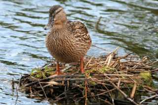 Яйца водоплавающих птиц