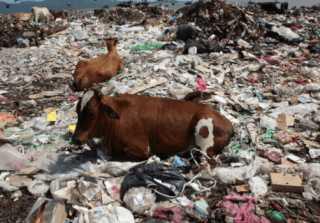 Неухоженные коровы