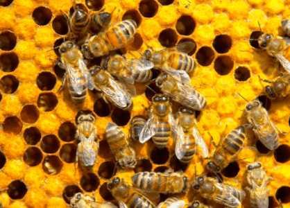 Мед из отравленного нектара