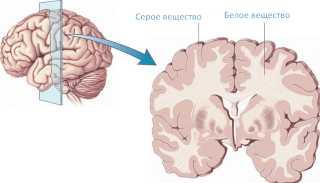 Белое и серое вещество в мозге