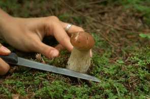 Срезать грибы не под корень