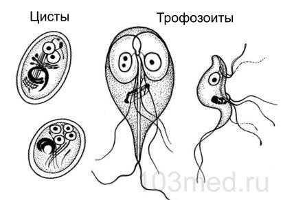 Как выглядят цисты и тромбоциты лямблий